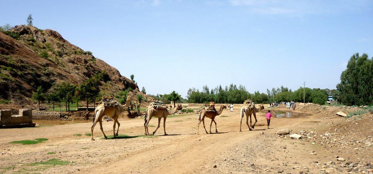 Axoum-chameaux