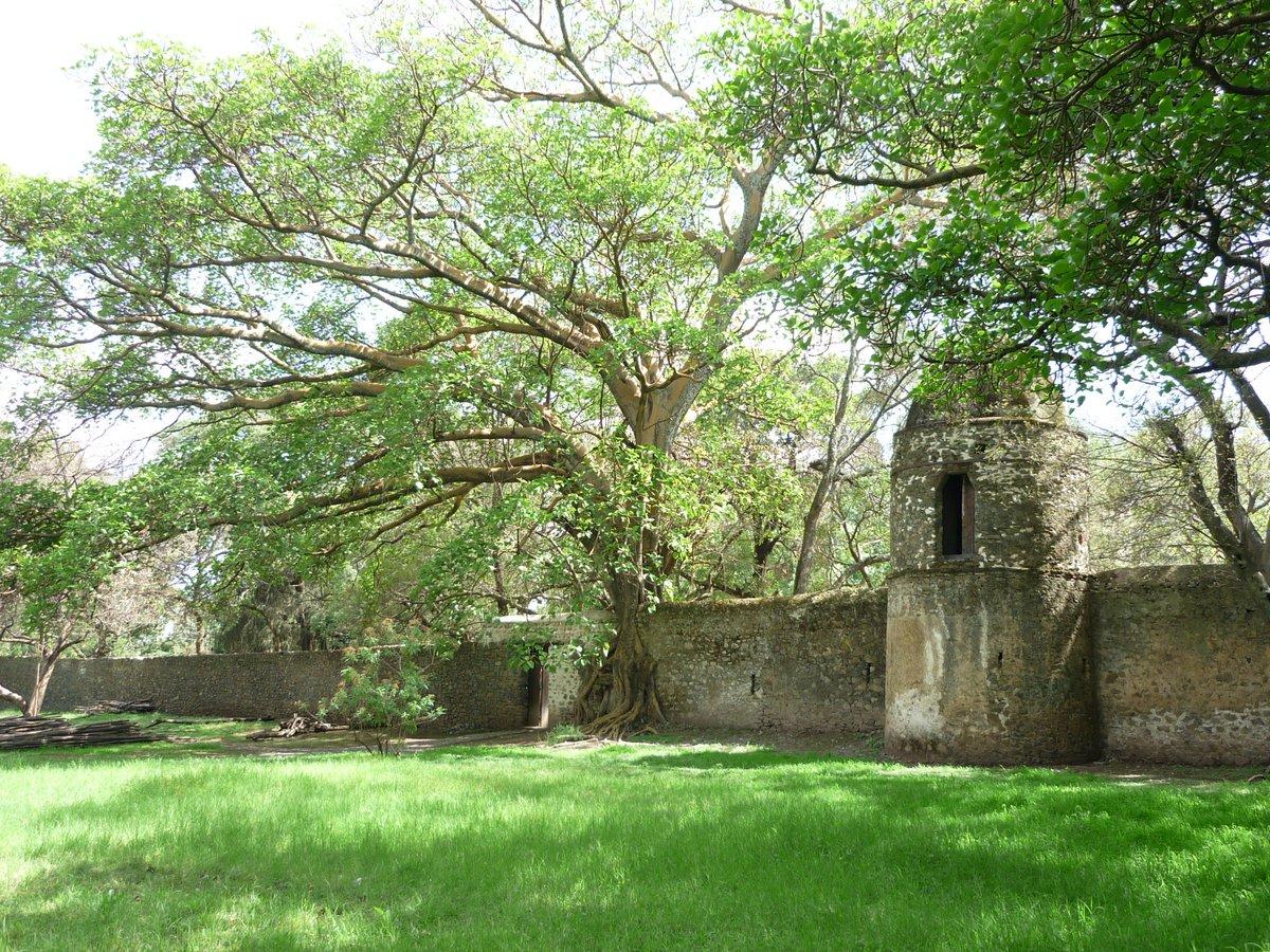 Sycomore autour des bains de Fasilades, Gondar